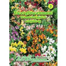 Antirrinum pumilum, Snapdragon pumilum, Magic Carpet mixed.