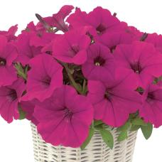 PETUNIA HYBRID F1 MyLove (Amore Mio) (multiflora): MyLove Purple
