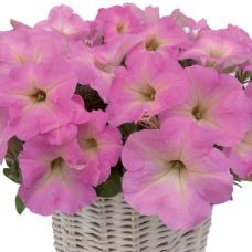 PETUNIA HYBRID F1 MyLove (Amore Mio) (multiflora): My Love Pastel pink