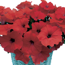 PETUNIA HYBRID F1 MyLove (Amore Mio) (multiflora): My Love Red