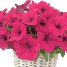 PETUNIA HYBRID F1 MyLove (Amore Mio) (multiflora): MyLove Deep Rose