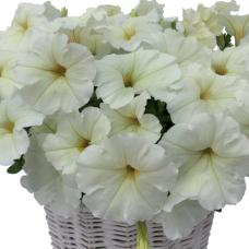 PETUNIA HYBRID F1 MyLove (Amore Mio) (multiflora): MyLove White
