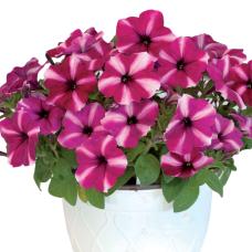 PETUNIA HYBRID F1 My Joy (multiflora) My Joy Star white and purple