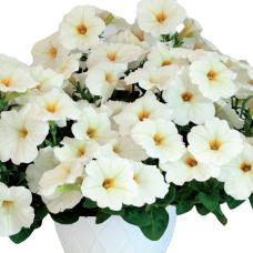 PETUNIA HYBRID F1 My Joy (multiflora)My Joy White Yellow Throat