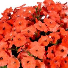 PETUNIA HYBRID F1 MyLove (Amore Mio) (multiflora): MyLove Orange Red