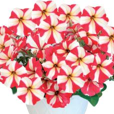 PETUNIA HYBRID F1 My Joy (multiflora)My Joy Star red and white