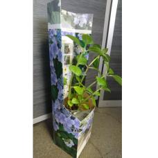 Hydrangea Teller blue Lacecap, Macrophylla. SALE - SOLD OUT!