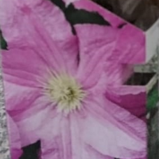 Clematis pink 'Hagley Hybrid'. SOLD OUT!