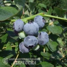 Vaccinium corymbosum Nelson - Highbush blueberry  2,5/I. SOLD OUT!