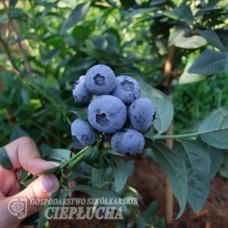 Vaccinium corymbosum Bonus - Highbush Blueberry 2,5l -astiataimi. SOLD OUT!