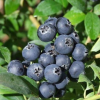 Fruit and berry plants