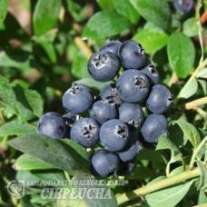 Vaccinium angustifolium x Vaccinium corymbosum Aino  - Half-high Blueberry- 5/II. SOLD OUT!