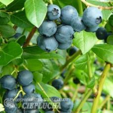 Vaccinium angustifolium x Vaccinium corymbosum Alvar - Halfhigh Blueberry 5/II. SOLD OUT!