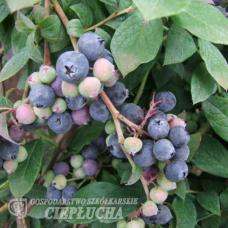 Vaccinium angustifolium x Vaccinium corymbosum Arto - Halfhigh Blueberry  5/II. SOLD OUT!