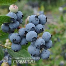 Vaccinium angustifolium x Vaccinium corymbosum.Jorma PBR - Halfhigh Blueberry 5/II. SOLD OUT!