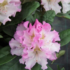 Rhododendron hybridum  Pohjola's Daughter -Rhododendron hybrid, 5l container seedling. SOLD OUT!