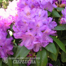 Rhododendron hybridum Purpureum Grandiflorum - Rhododendron hybrid 5l container seedling. SOLD OUT!