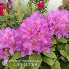 Rhododendron hybridum Pink Purple Dream - Rhododendron hybrids 5l container seedling. SOLD OUT!