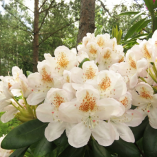 Rhododendron hybridum Pernilla - Rhododendron hybrids  (Helsinki University x Blue Bell) 5l container seedling. SOLD OUT!