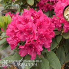 Rhododendron hybridum 'Double Kiss' 5l container seedling. SOLD OUT!