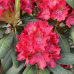 Rhododendron hybridum 'Royal Scarlet' 5l container seedling. SOLD OUT!