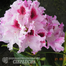 Rhododendron hybridum Royal Butterfly, 5l container seedling. SOLD OUT!