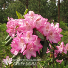 Rhododendron Eija (Elviira x Blue Bell), 5l container seedling. SOLD OUT!