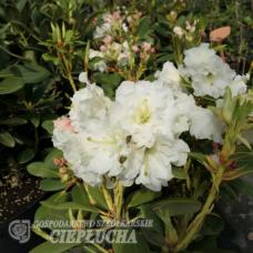 Rhododendron Nikodemus [(brachycarpum x aureum) x hybr.]5l container seedling. SOLD OUT!
