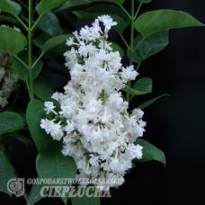 Syringa vulgaris 'Miss Ellen Willmott', Lilac, common lilac 2,5/I. SOLD OUT!