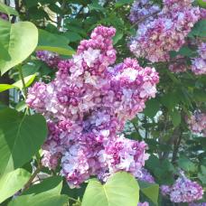 Syringa vulgaris 'Pamięć o Wawilowie', Lilac; common lilac 2,5/I. SOLD OUT!