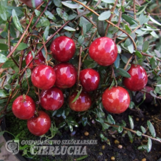 Vaccinium macrocarpon, American cranberry Corallium 1l. SOLD OUT!