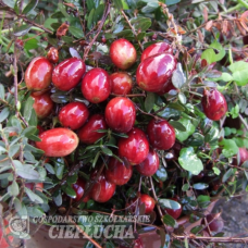 Vaccinium macrocarpon Pilgrim, Cranberry 1/I. SOLD OUT!
