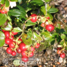 Vaccinium vitis-idaea, Lingonberry 'Red Pearl' 1/l. SOLD OUT!