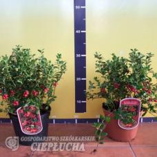 Vaccinium vitis-idaea, Lingonberry 'Runo Bielawskie' 1/I. SOLD OUT!
