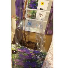 Clematis violet 'Polish Spirit'. SOLD OUT!