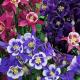 Biennial and perennial flowers