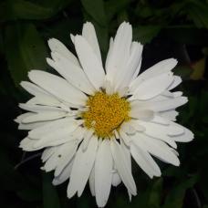 Leucanthemum x superbum , Shasta Daisy Madonna