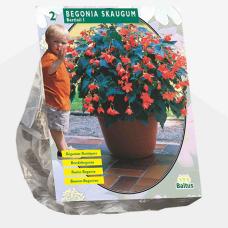 Begonia Bertinii Skaugum per 2. SALE - 70%!