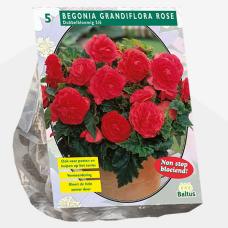 Begonia Grandiflora Double, Pink per 5. SALE  - 70%!