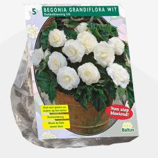 Begonia Grandiflora Double, White per 5. SALE - 70%!