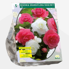 Begonia Double Duo, Pink / White per 5. SALE - 70%!