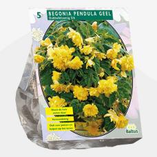 Begonia Pendula, Yellow per 5. SALE - 70%!