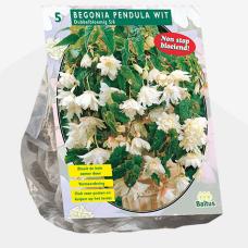Begonia Pendula, White per 5. SALE - 70%!