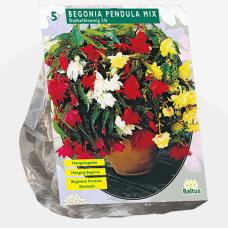 Begonia Pendula, Mix per 5. SALE - 70!