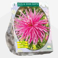 Dahlia Cactus Good Earth per 1. SOLD OUT!