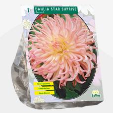 Dahlia Cactus Star Suprise per 1. SOLD OUT!