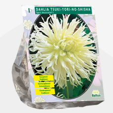 Dahlia Tsuki-Yori-No-Shisha, Split decorative per 1. SOLD OUT!