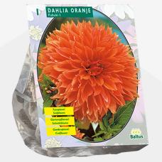 Dahlia Orange Fubuki per 1. SOLD OUT!