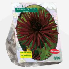 Dahlia Cactus Nuit d'ete per . SOLD OUT!