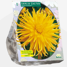 Dahlia Cactus Kennemerland per 1. SOLD OUT!